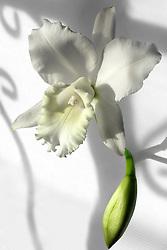 Cattleya, white #7