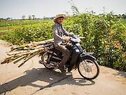 26 FEBRUARY 2015 - PHNOM PENH, CAMBODIA:  A man on a motorcycle takes sugar cane towards Phnom Penh.   PHOTO BY JACK KURTZ