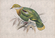 Digitally enhanced Illustration of Eastern Ornate Fruit-dove (ptilopus gestroi now Ptilinopus gestroi) from 1878