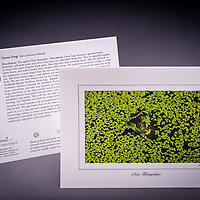 This green frog tries to camouflage itself in duckweed. Young kids love this card! Also available as a fine art print. <br />