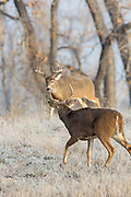 A small whitetail buck decides what to do as a large buck arrives.8