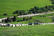 Sheep being herded by farmer in tractor Otago Peninsula ,south island New Zealand. 1999