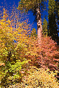 Fall color, Yosemite Valley, Yosemite National Park, California