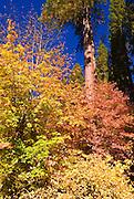 Fall color, Yosemite Valley, Yosemite National Park, California