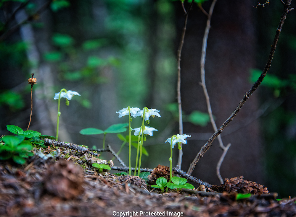 Wild flowers near Lake Louise., Alberta, Canada, Isobel Springett