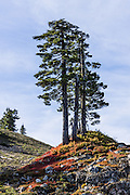 Isolated, venerable trees rise above red and yellow fall foliage colors high on Park Butte Trail in Mount Baker Wilderness, Mount Baker-Snoqualmie National Forest, Washington, USA.