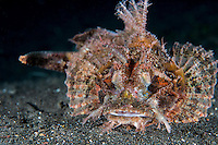A Scorpionfish rests on the seafloor<br /> <br /> Shot in Indonesia