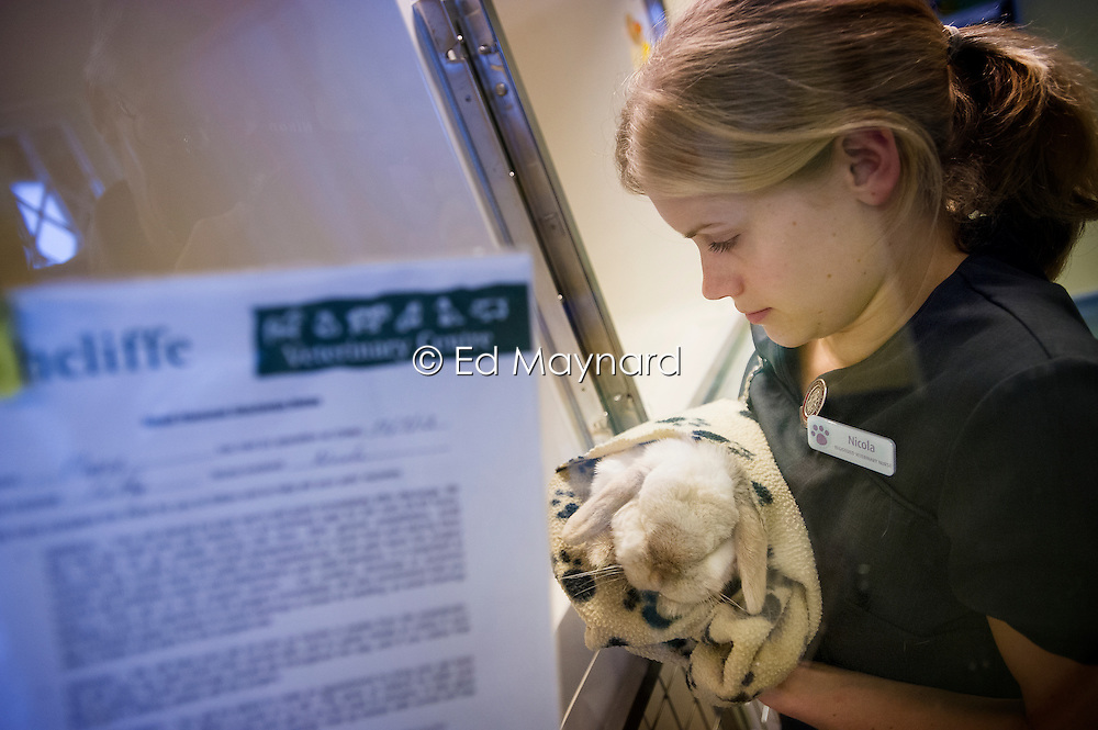 Rabbit is carried to a recovery cage by a veterinary nurse at Rushcliffe Veterinary Surgery, Nottingham, UK.