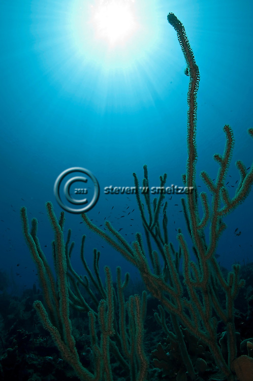 Giant Slit-Pore Sea Rod, Plexaurella nutans, Gail's Mountain, Grand Cayman
