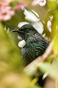 Portrait of a Tui, with green foliage pleasantly blurred into the foreground and background, New Zealand