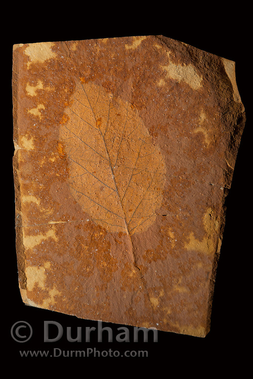 Fossil of a 33 million year old alder leaf (Alnus heterodanta). John Day Fossil Beds, Oregon. Please note: Identifying numbers have been digitally removed from this image.