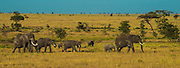 Elephant family on the move, Serengeti National Park, Tanzania