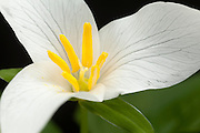 A western white trillium (trillium Ovatum) with yellow anthers full of pollen, blooming in eary spring. The white trillium bears distinctive 3-petaled, white flowers in spring above its dark-green leaves.