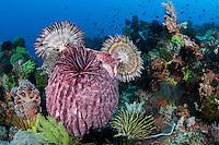 Barrel Sponge and Crinoids<br /> <br /> Shot in Indonesia