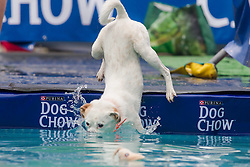 61539533<br /> A dog jumps into the water during a dog diving competition in Budapest, Hungary on May 18, 2014. Dog diving is free time sport testing the skill of the dogs. The owner throws a toy into the pool and the dog jumps into the water to retrieve it. Some dogs enjoy it, while some simply skip the task. Rules of the competition strictly forbid for the owners to toss the dogs into the water. It is a game the dog must enjoy and want to cooperate, Hungary, Sunday, 18th May 2014. Picture by  imago / i-Images<br /> UK ONLY