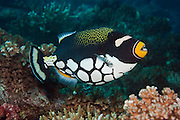 A Clown Triggerfish, Balistoides conspicillum, swims over a coral reef in Beqa Lagoon, Pacific Harbor, Viti Levu, Fiji.