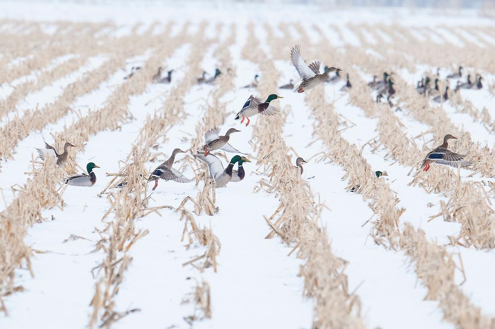 Mallards, Anas platyrhynchos, Brown County, South Dakota