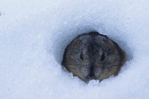 Collared Lemming (Dicrostonyx groenlandicus) burrowed in snow. Nunavut Territory. Canada.