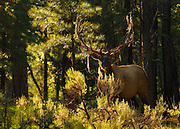 "A bull elk, also known as a wapiti, in the forest on the South Rim of Grand Canyon National Park in Arizona. His antlers are shedding their protective ""velvet."""