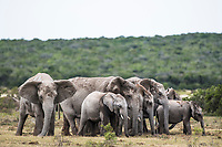 African elephant capture, Addo Elephant National Park, Eastern Cape, South Africa