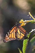 A macro shot of a monarch butterfly collecting nectar in the morning