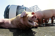 FUZHOU, CHINA - AUGUST 05: (CHINA OUT) <br /> <br /> A van carrying 12 pigs turns over on major Road<br /> <br /> An injured pig lies on the third ring road on August 5, 2013 on Fuzhou, Fujian Province of China. A van carrying 12 pigs turned over on the third ring road on Monday. A pig died of heatstroke as the temperature reached 40 degrees Celsius. <br /> ©Exclusivepix