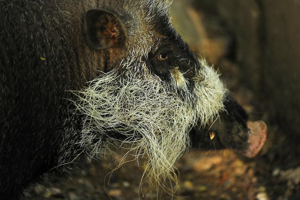 Palawan bearded pig, Sus ahoenobarbus, sanglier