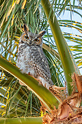 A great horned owl (Bubo virginianus) looks out from its perch high in a palm tree in Chandler, Airzona. The great horned owl is the most widely distributed owl in North America.