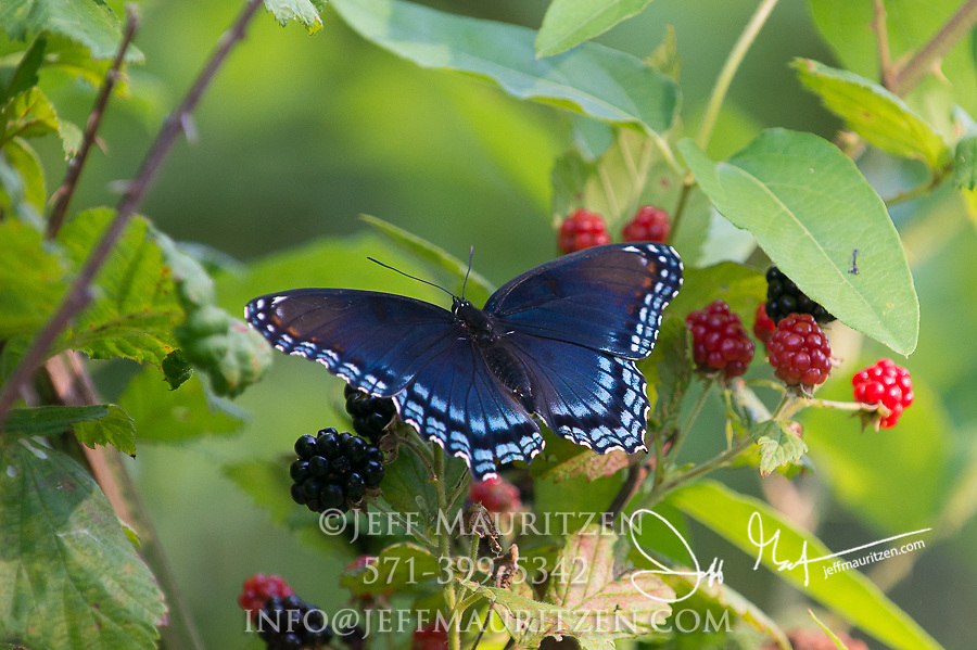 A red-spotted purple butterfly (Limenitis arthemis) lands on a blackberry bush.