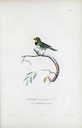 Birds of Cube 1838 Tomeguin del Pinar the Cuban grassquit (Tiaris canorus [Here as Passerina olivacea]) is a small bird. It is recognized as a tanager closely related to Darwin's finches. It is found in Bahamas, Cuba, and Turks and Caicos Islands.  From the book Histoire physique, politique et naturelle de l'ile de Cuba [Physical, political and natural history of the island of Cuba] by  Sagra, Ramón de la, 1798-1871; Orbigny, Alcide Dessalines d', 1802-1857 Publication date 1838 Publisher Paris : A. Bertrand