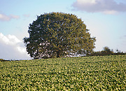 Round small oak tree with green leaves in summer standing alone in field Sutton, Suffolk, England