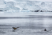 Humpback whales frolic and feed in Wilhelmina Bay, Antarctic Peninsula.