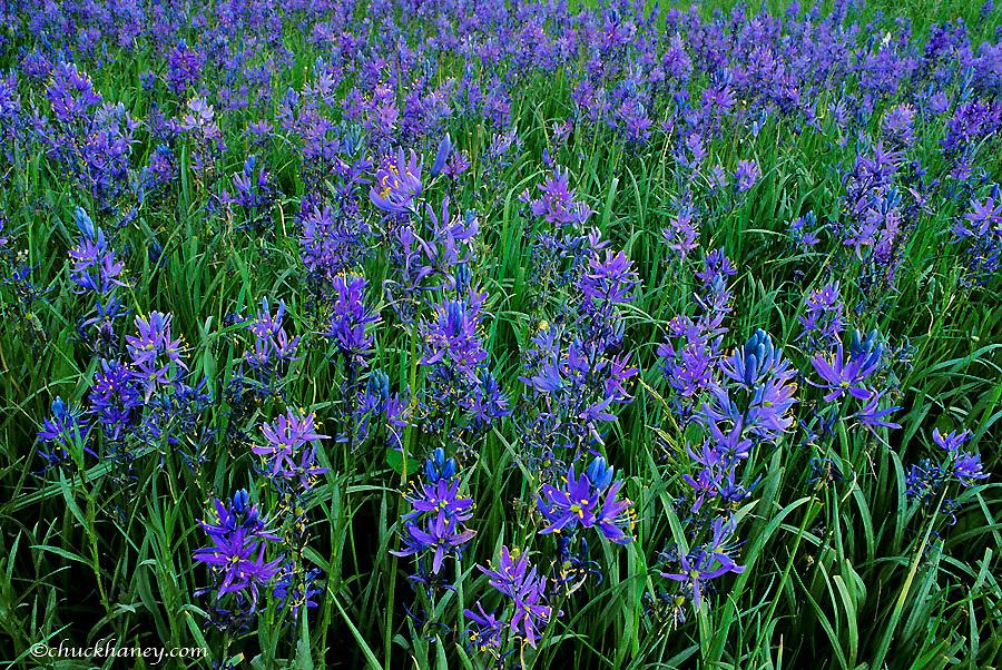 Meadow full of blue camas wildflowers near Huson Montana