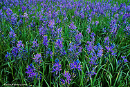 Meadow full of blue camas wildflowers near Huson Montana