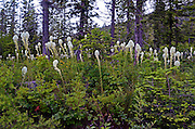 Bear grass blooming in early summer on managed forestland in the Haskill Basin, F.H. Stoltze Land & Lumber Co. property. Flathead County, Montana.