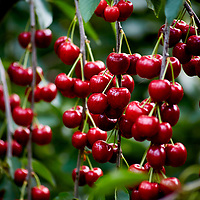 An impressive large cluster of cherries hanging from a tree branch.