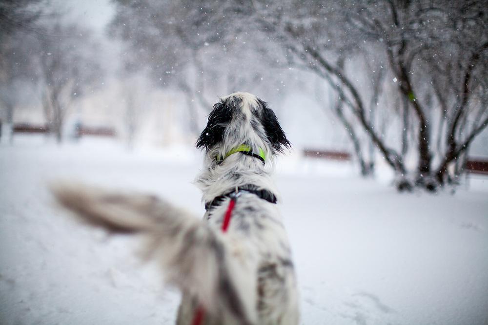 """English Setter """"Rudy"""" am 03.02. 2019 auf einem Spaziergang im Prager Stadtteil Zizkov, Tschechische Republik mit Schnee. Rudy wurde Anfang Januar 2017 geboren."""