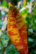 Banana leaf, Lyon Arboretum. Manoa Valley, Honolulu, Oahu, Hawaii