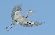 Great Blue Heron (Ardea herodias), flies back to the nest with twigs, Colorado