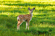 Young mule deer (spotted fawn), Tuolumne Meadows, Yosemite National Park, California USA