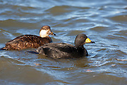 Black Scoter, Melanitta nigra, male & female, Barnegat Light, New Jersey