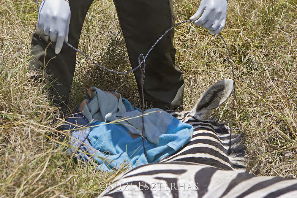 Plains Zebra<br /> Equus burchelli<br /> Rangers and veterinarians removing snare around neck of young stallion<br /> Masai Mara Conservancy, Kenya