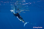 striped marlin, Kajikia audax (formerly Tetrapturus audax ), uses its bill to strike a sardine out of a baitball of sardines, Sardinops sagax, off Baja California, Mexico ( Eastern Pacific Ocean ); the sardine is struck on the tail, and not disabled; #1 in sequence of 6 images