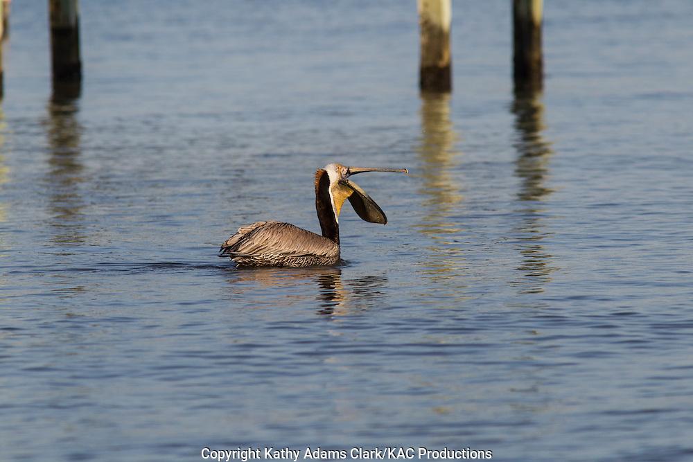 Brown pelican, Pelecanus occidentalis, feeding, spring, Galveston, Texas.