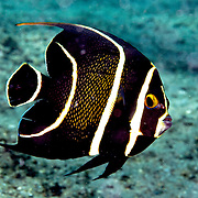 French Angelfish inhabit reefs and sandy areas in Tropical West Atlantic; picture taken Blue Heron Bridge, Palm Beach, FL.