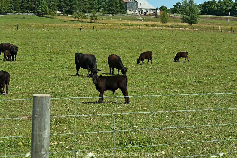 Canadian beef catle in a green field.
