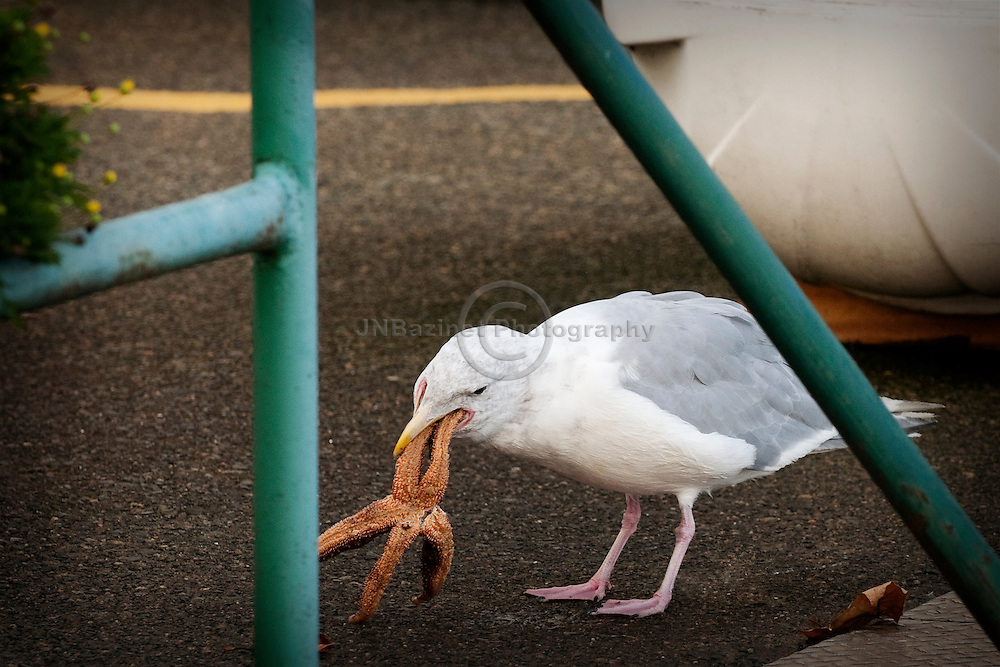 Western gull attempts to eat a large starfish it has found on a pier (British Columbia, Canada)