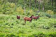 Horses, Ua Huka, Marquesas Islands, French Polynesia<br />