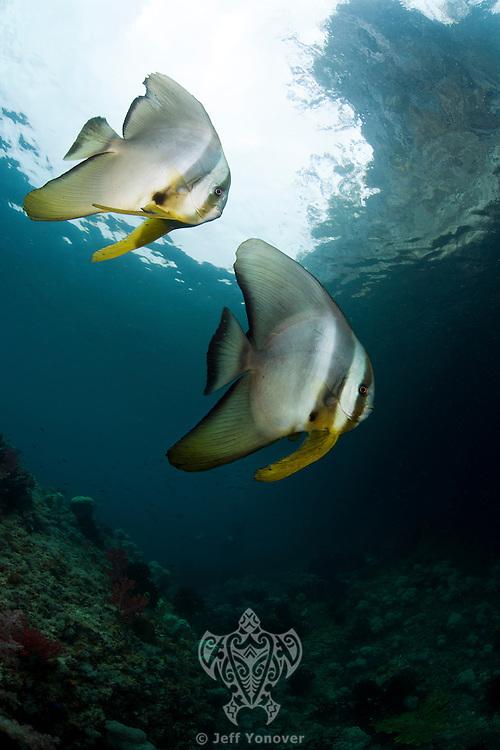 Batfish Pair<br /> <br /> shot in Indonesia