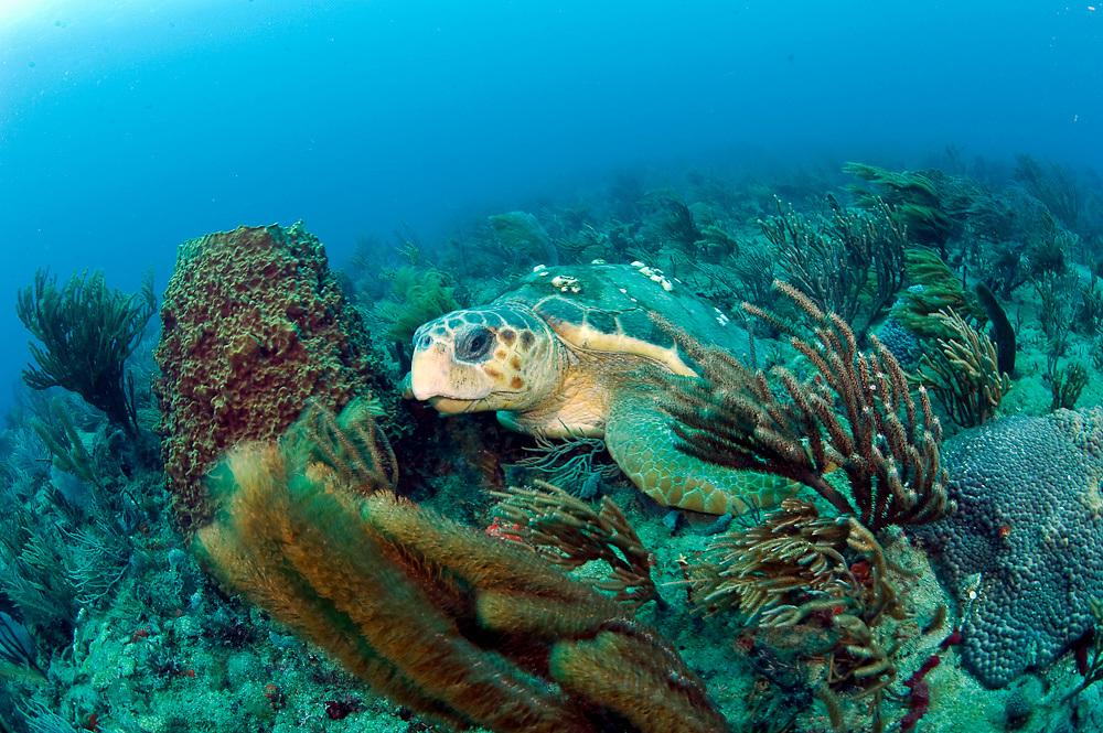 Loggerhead Sea Turtle (Caretta caretta) rests on the ocean bottom offshore Palm Beach County, Florida.